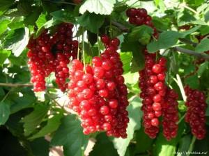 в десять раз больше урожай смородины и малины
