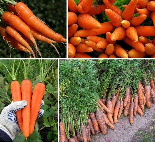 Выращиваем красивую и вкусную морковь