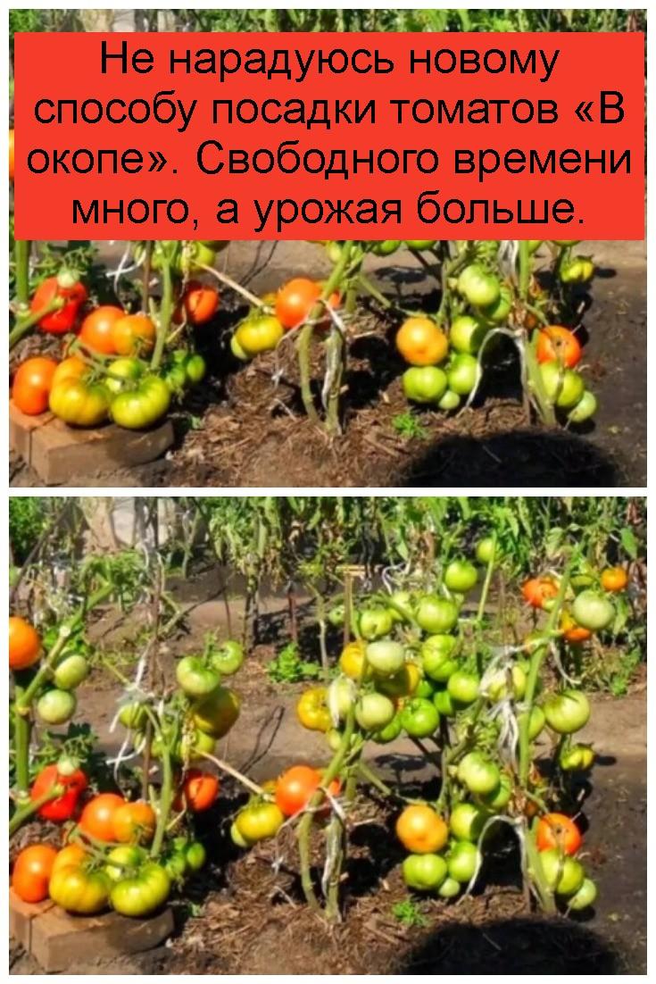 Не нарадуюсь новому способу посадки томатов «В окопе». Свободного времени много, а урожая больше 4