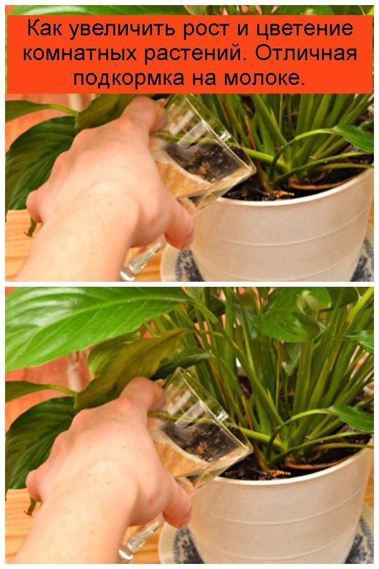 Как увеличить рост и цветение комнатных растений. Отличная подкормка на молоке 4