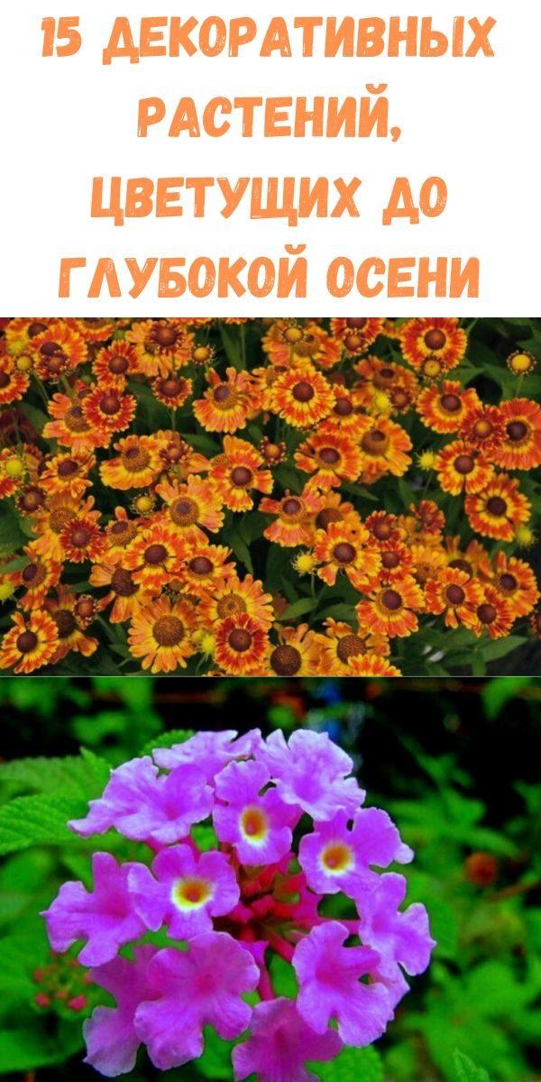 15-dekorativnyh-rasteniy-tsvetuschih-do-glubokoy-oseni