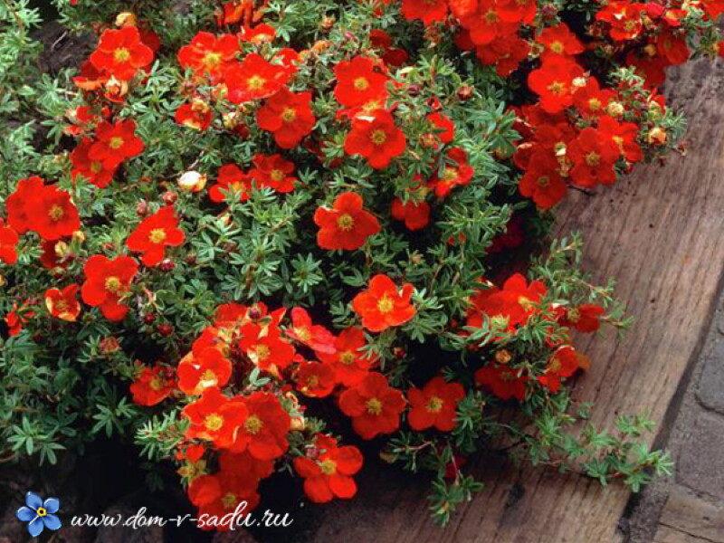potentilla-fruticosa-red-ace