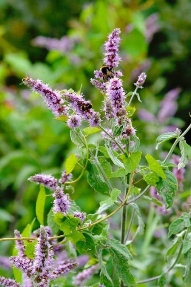 mentha-longifolia-02-640x961-1