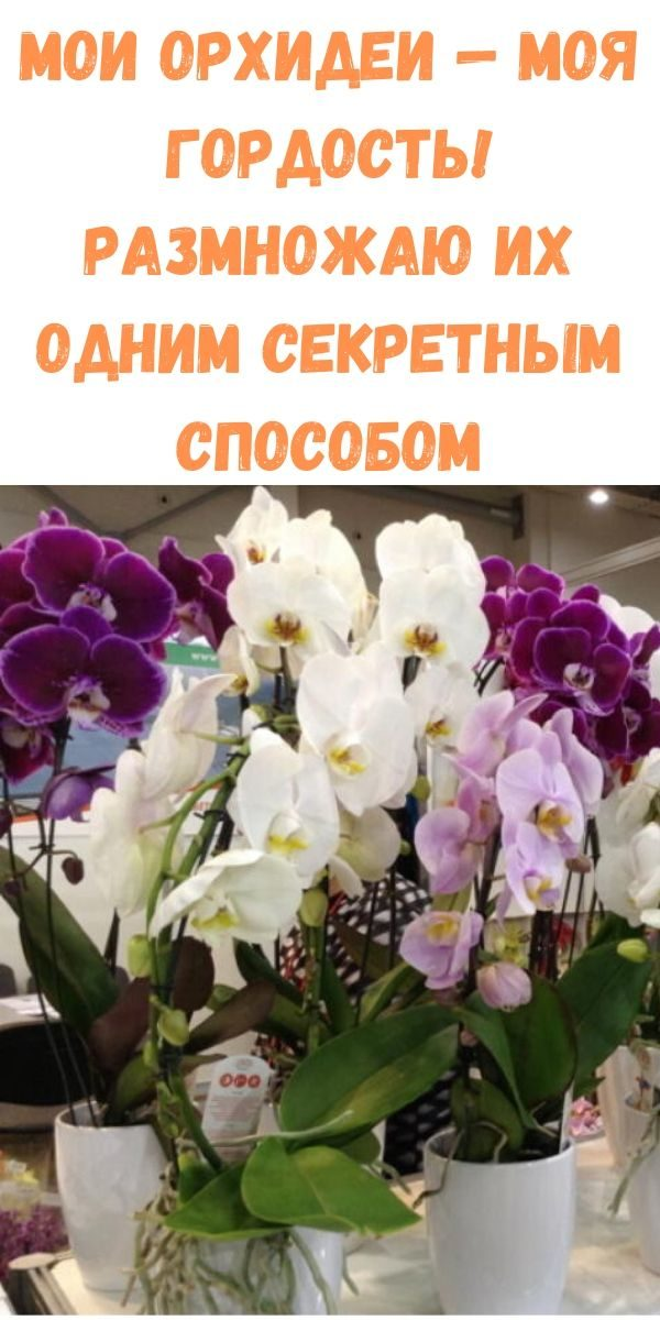 moi-orhidei-moya-gordost-razmnozhayu-ih-odnim-sekretnym-sposobom
