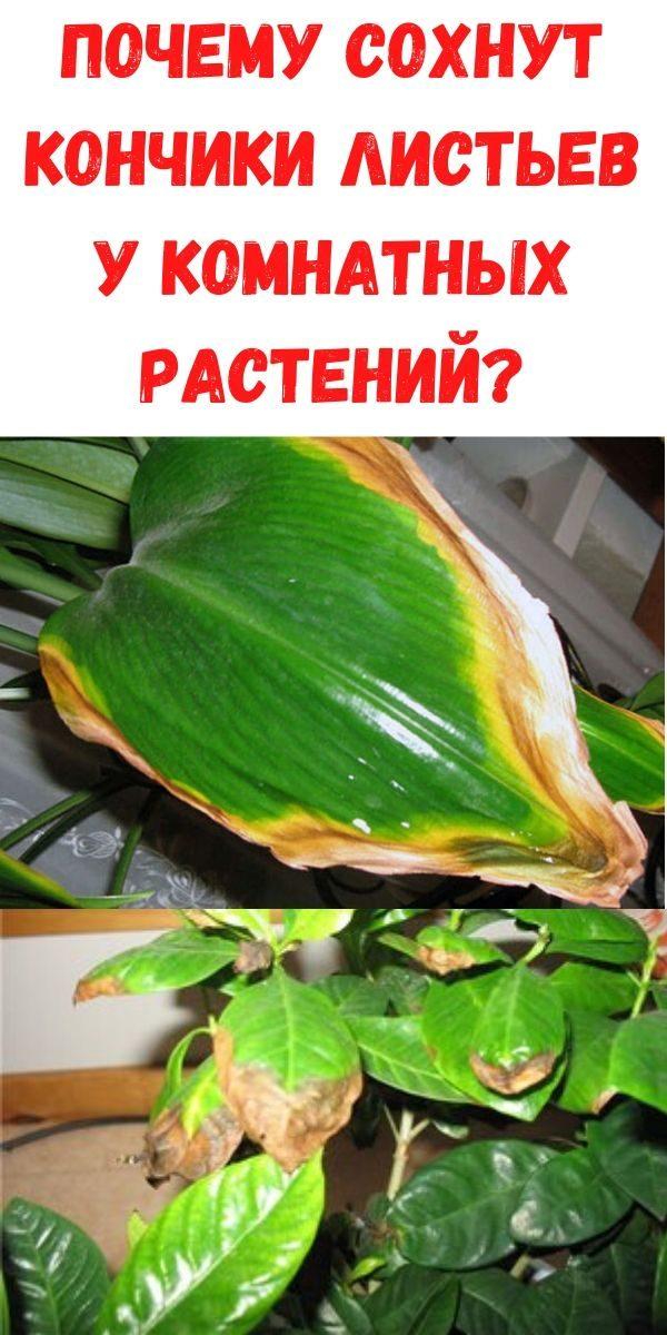 pochemu-sohnut-konchiki-listev-u-komnatnyh-rasteniy_