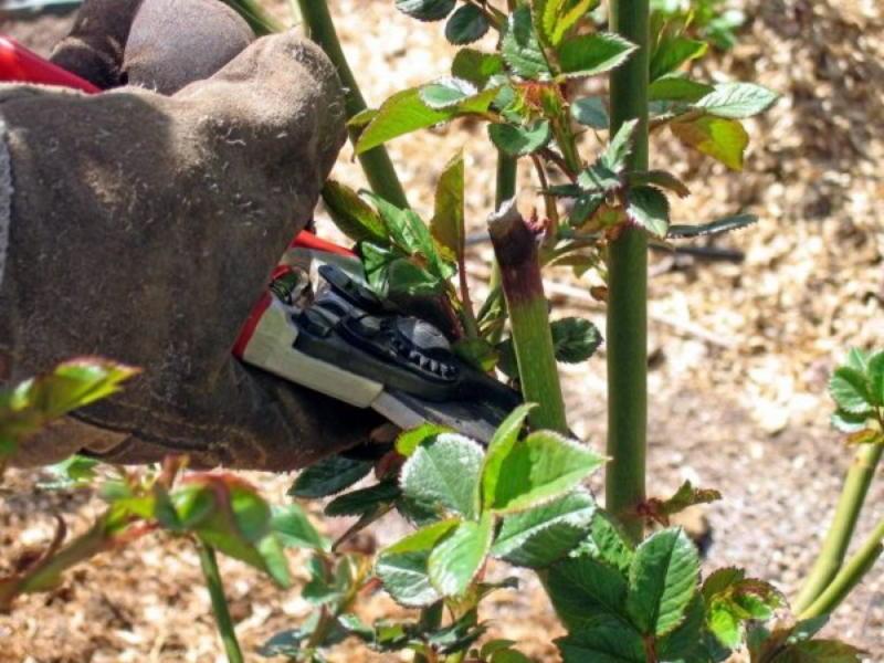 rose-bush-04-1-1