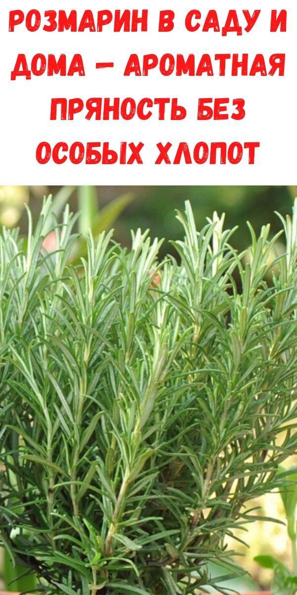rozmarin-v-sadu-i-doma-aromatnaya-pryanost-bez-osobyh-hlopot