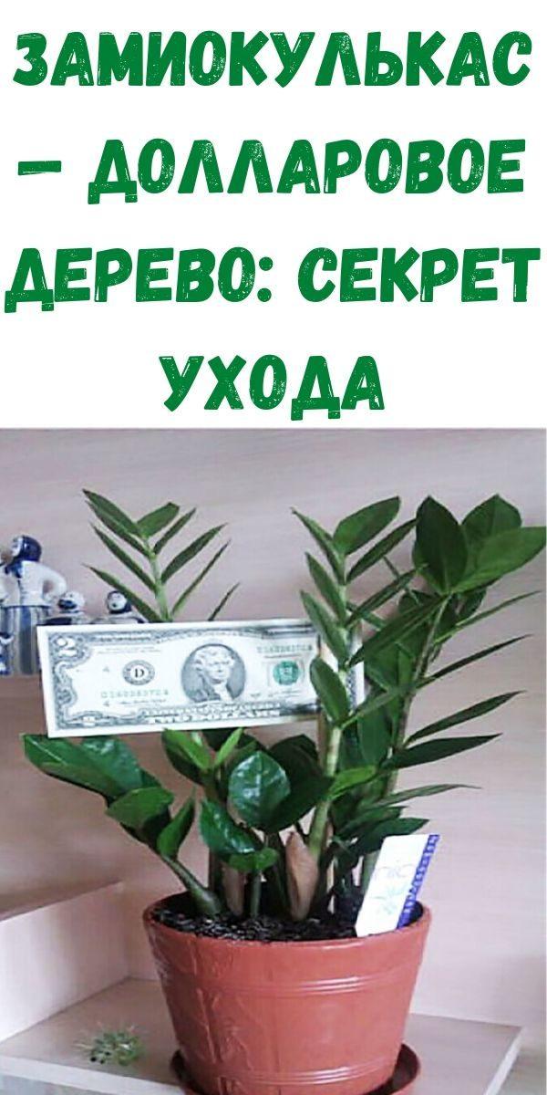 zamiokulkas-dollarovoe-derevo_-sekret-uhoda