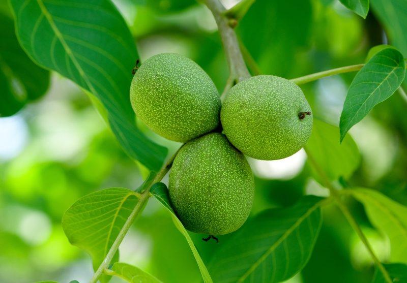 walnuts-on-a-tree-2